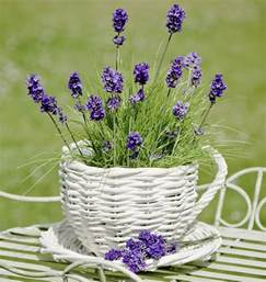 lavender plant care it needs a little bit of time and