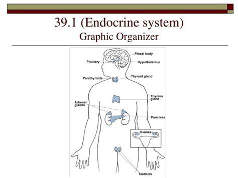 Ppt 39 1 Endocrine System Graphic Organizer Powerpoint Endocrine System Powerpoint Presentation