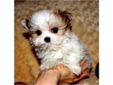 morkie puppies for sale mn 1000 images about morkie teacup puppies on morkie puppies maltese and yorkie