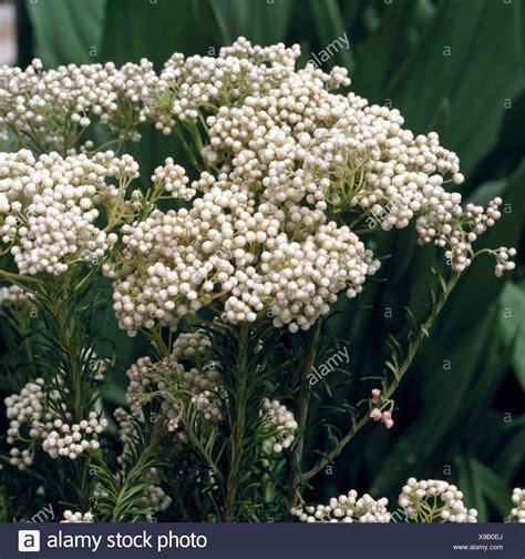fiori di riso ozothamnus diosmifolius pianta di riso fiore reciso