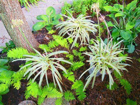 grow agapanthus for bi colored foliage shawna coronado
