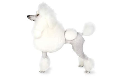 poodle lifespan in human years poodle guide temperament span traits canna pet