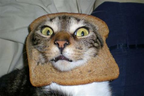 Bread Cat Meme - cats at pawfront of breading meme oddstuff stuff co nz