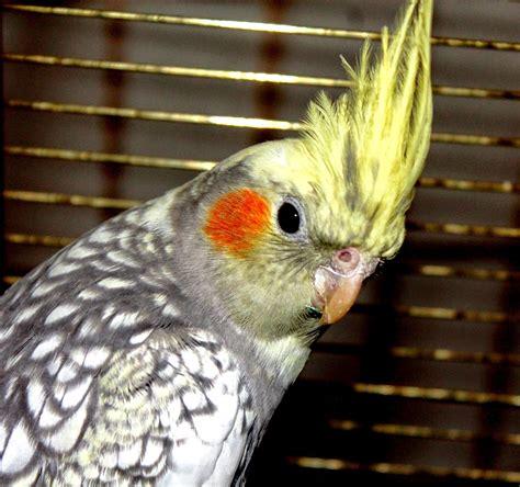 pappagallo calopsite alimentazione calopsite un pappagallo simpatico e bizzarro