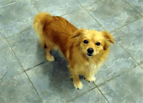 golden retriever pomeranian golden retriever chihuahua mix pets chihuahua mix poodle and