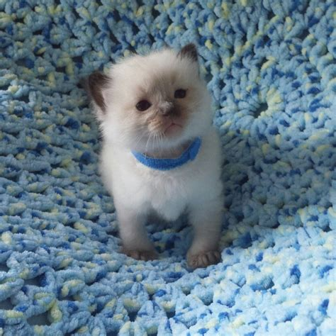 ragdoll 3rd gccf registered litter due 3rd of march ready may