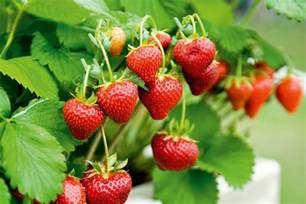 Gardening Types - growing strawberries australian handyman magazine