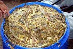 Maggot Sebagai Pakan Ternak beritik limbah agroindustri untuk pakan bebek