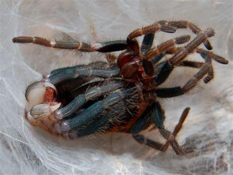 tarantula molting 4 6 a juvenile chromatopelma