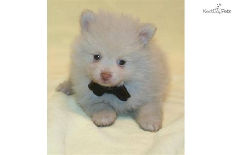 nose pomeranian for sale pomeranian for sale for 875 near grand island nebraska 2fc91538 e971