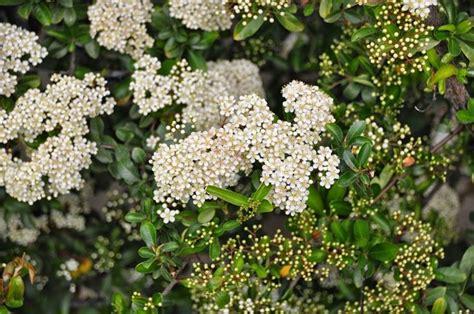 pyracantha in vaso piracanta piante da giardino pianta di piracanta