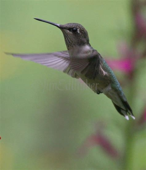 ruby throated hummingbird on cardinal flower window to