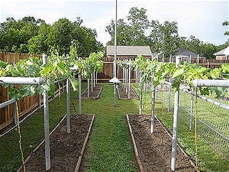 how to grow grapes archives free grape growing tips and