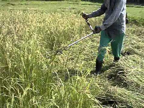Alat Matun Padi cara matun padi dengan cepat doovi