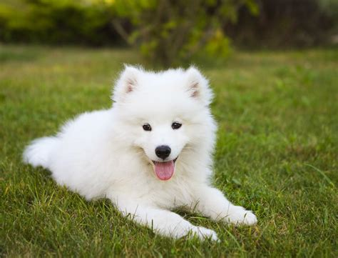 samoyed colors samoyed breed information pictures characteristics