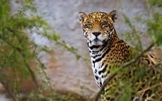 Wallpaper Jaguar Jaguar Hd Wallpapers