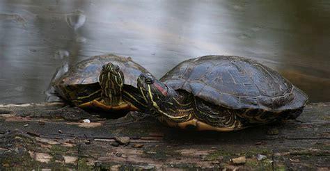 tartarughe alimentazione tartarughe alimentazione mono gamberetto