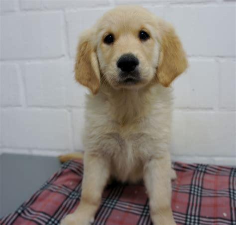 karakter golden retriever golden retriever pups pup kopen verkopen fokker kuurne west vlaanderen