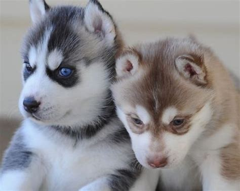 siberian husky puppies for adoption outstanding siberian husky puppies for adoption 901 249 9231