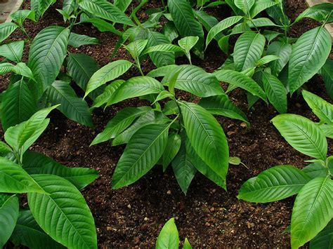 genki plant almond whole 250g adhatoda justicia adhatoda adulsa malabar nut