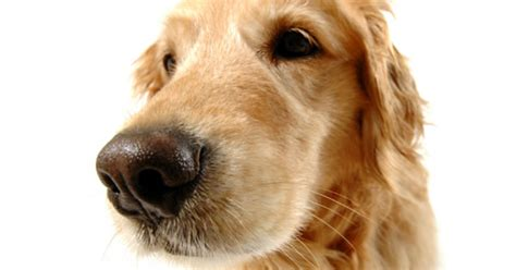 eye diseases in dogs common eye problems in dogs