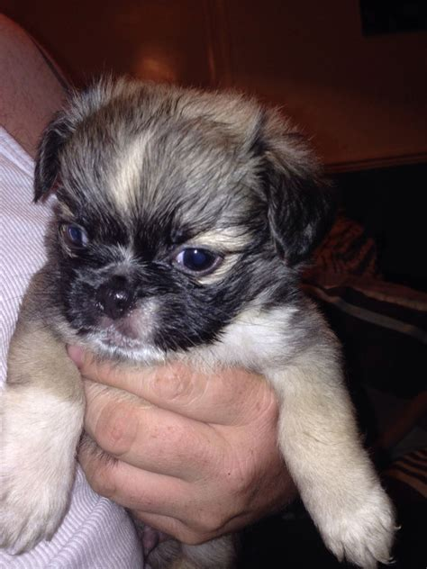 pug x maltese malti pug malti pugs pug maltese hybrid breeds picture