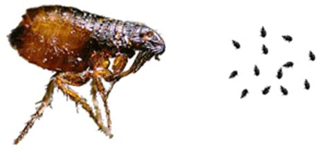fleas hydrex pest of the bay termite and