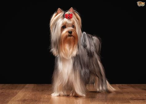 how to groom a yorkie puppy how to brush a yorkie puppy ehow grooming yorkies breeds picture