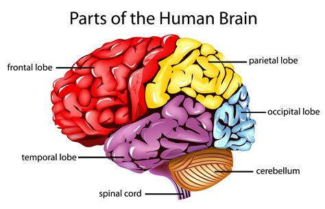 sections of the brain and what they do the human brain i think i shall do a series talking about