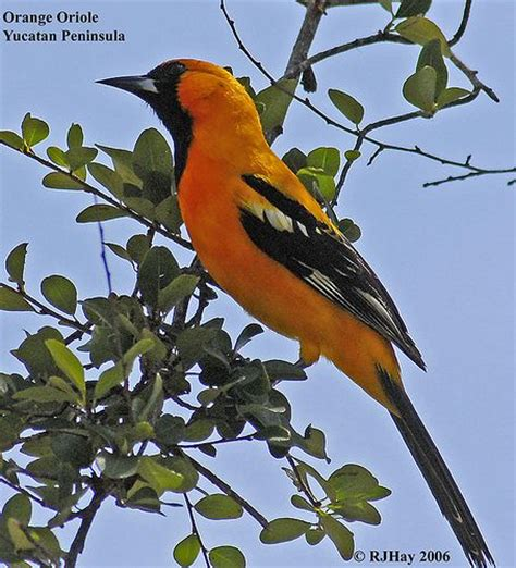 orange oriole puerto aventuras mexico the orange oriole