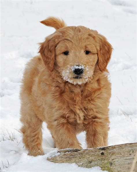 goldendoodle puppy goldendoodle puppyjpg breeds picture