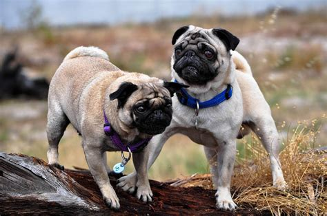 how big is a pugs brain 6 problems only pug owners will understand reference