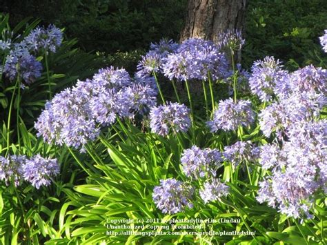 agapanthus plant care and collection of varieties garden org