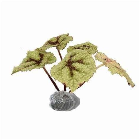 Bibit Tanaman Begonia Apem Merah kumpulan nama bunga lengkap dari a z beserta gambar dan