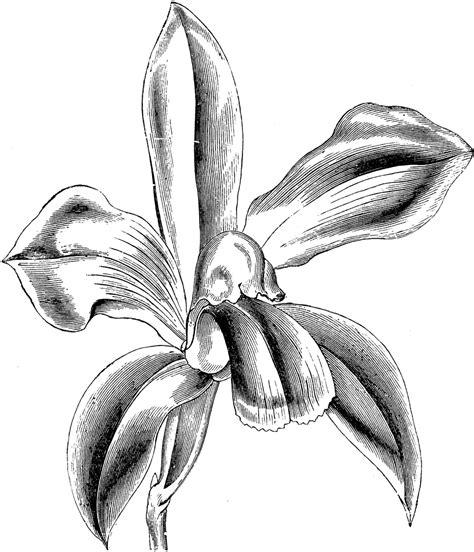 flower of cattleya bicolor clipart etc