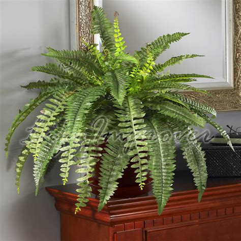 boston fern indoor plant in the white pot stunning indoor plants 1 live boston fern large house plant pot indoor tropical