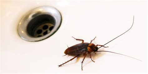how to prevent cockroaches in bedroom how to get rid of roaches how to kill cockroaches and