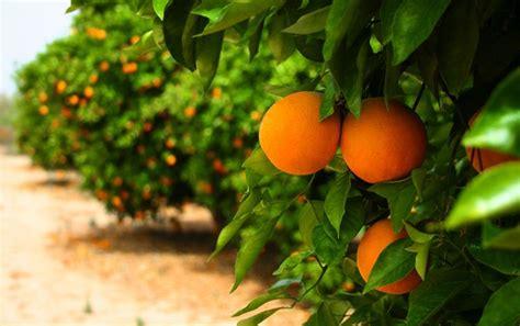 concimazione limone in vaso concimazione agrumi concime come concimare gli agrumi