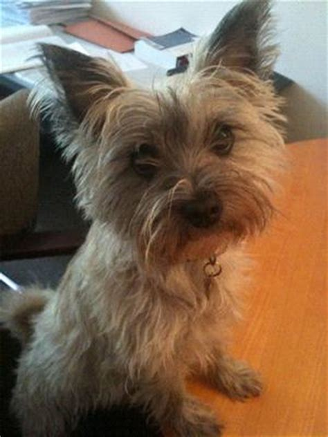 cairn terrier mix puppies maltese cairn terrier mix bobby breeds picture