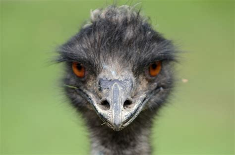 emu 11 facts about australias national bird