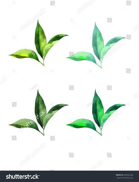 watercolor set tea leaves white background stock illustration 492965200