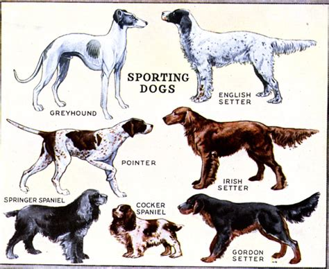 sporting dogs sporting dogs