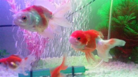 Anting Ikan Koki Goldfish aquarium ikan koki kesayanganku goldfish tank