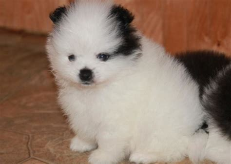 teacup puppy breeds teacup breeds breeds puppies treatment of teacup breeds
