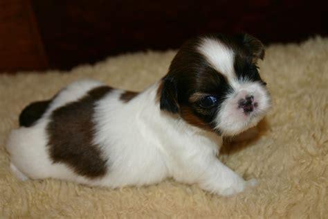 3 week shih tzu akc shih tzu puppies for sale ruby the shih tzu site shih tzu puppies shih tzu