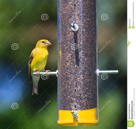 feeding goldfinch royalty free stock photos image 30219478