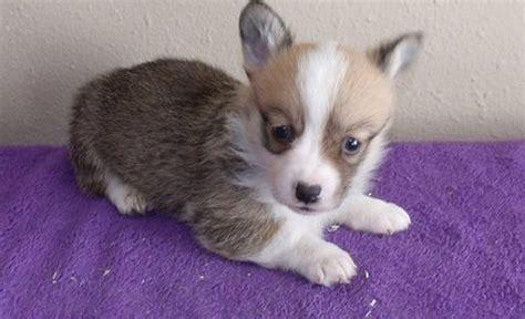corgi puppies for sale chicago pomsky australia sale breeds picture