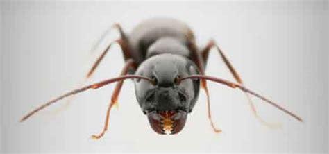 fourmis dans la maison exterminateur de fourmis dans la maison
