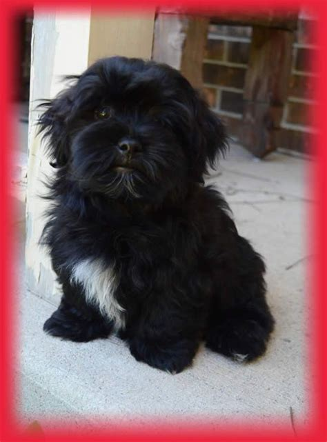 havanese cat 17 best ideas about havanese puppies on puppies dogs and