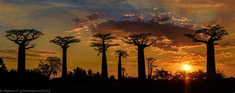 baobabs au soleil couchant madagascar stephanep flickr